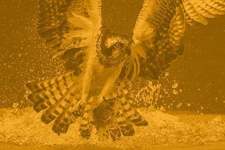 Hawk & Fish Parable